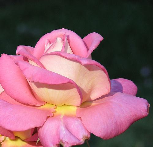 Rose Opening